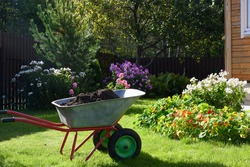 Wheelbarrow full of compost on green lawn with well-groomed phlox flowers in private farmhouse. Seasonal cleaning garden. Outdoors.