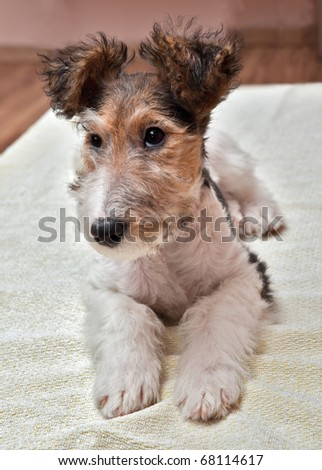 whelp of fox-terrier