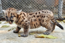 When cougars are born, they have spots, but they lose them as they grow, and by the age of 2 1/2 years, they will completely be gone