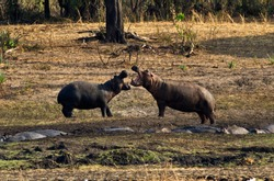 When hippos are concentrated in close proximity during the dry season there are many aggressive interactions, some of which become violent and serious injuries can result.