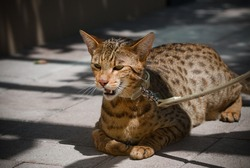 when I brought the savannah cat to play outside the house on the mango street, Surabaya, East Java