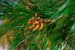 When spring starts all the Mediterranean pines are wearing immature cones, both male and female. This branch has immature male cone with pollen.