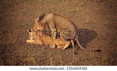 When the lioness is ready and presents, the male will try to grip her neck before mounting. Once he mounts, copulation is generally completed with a few thrusts #1356604586