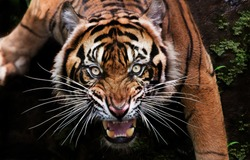 when the mood of the beautiful Sumatran tiger is bad