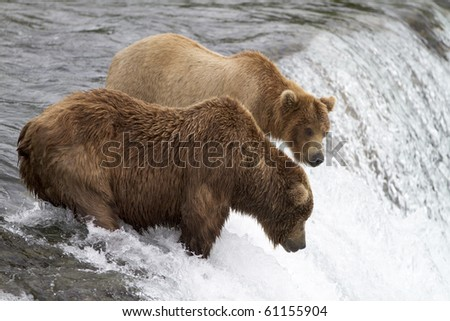 "Where Are Those Salmon - Two grizzly bears wait patiently for the sockeye salmon to jump into their ""catch zone"" at Katmai National Park, Alaska."