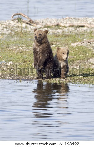 Where is Mom? - Two grizzly bear cubs are looking for mother grizzly at Katmai National Park, Alaska.