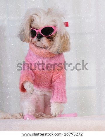stock photo : Which Way To The Ski Slope - Shih Tzu Puppy standing up,