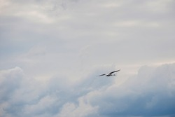 Whild white whooper swan flies alone in the cloudy sky. Wild nature. Spring in Karelia.
