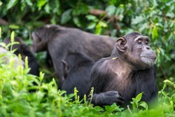 While a chimp group is undertaking social behaviours in the background, this adult chimpanzee is observing something in the grass close to where it is sat.