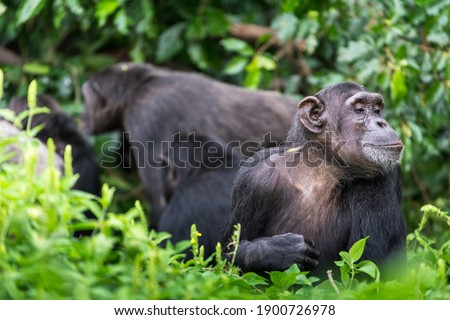 While a chimp group is undertaking social behaviours in the background, this adult chimpanzee is observing something in the grass close to where it is sat. Сток-фото ©