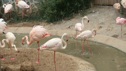 while breeding Pink Swans seek forage from the ground