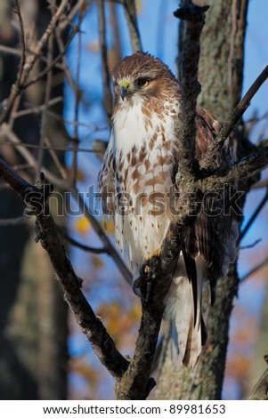 While hidden in its natural environment, a barren tree, a coopers hawk locks its eyes in  laser beam focus on its prey. A slight breeze puffs ups its feathers making it look more threatening.