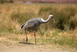 While-naped crane on the background of a shroud, zoo or nature reserve, preserving the species in the red book