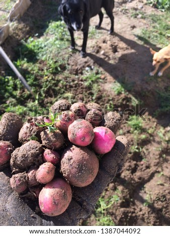 While prepping my garden last year, i discovered these little red potatoes hiding beneath the earth.