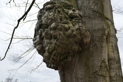 whimsically shaped knob on tree trunk