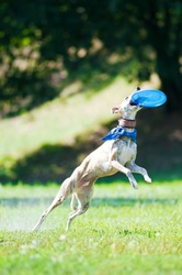 whippet dog and fly frisbee