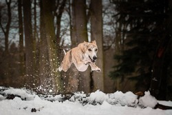 Whippet Dog is jumping in snow. he is so happy outside. Dogs in snow is nice view