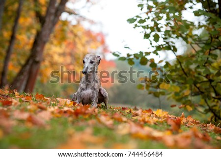 Whippet Dog Lying on the Grass. Autumn Leaves in Background #744456484