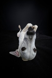 Whippet dog on the back