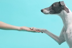 Whippet dog posing isolated on green blue background