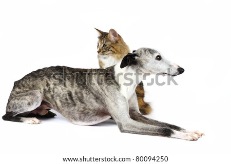 Whippet hound with a norwegian forest cat together in studio on a white background