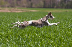 whippet hunting