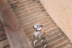 Whippet is standing on wooden beach road