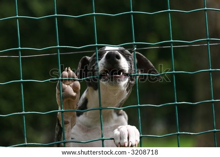 whippet puppy behind the fence
