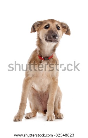 whippet puppy in front of a white background