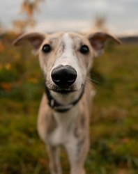 Whippet puppy portrait with focus on wet nose. Close up of a sight hound dog looking straight at the camera.