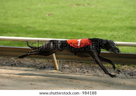 Whippet racing in Rotterdam