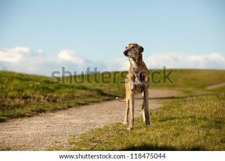 Whippet standing in landscape with selective focus on dog