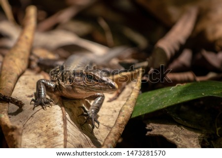 Whiptail lizards are endemic to South America, Central America, and the West Indies.