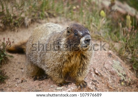 Whistle Pig - Marmot - Colorado Mountains. Colorado, USA. Wild Animals Photo Collection