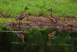 whistling ducks or tree ducks are a subfamily, Dendrocygninae, of the duck, goose and swan family of birds, Anatidae. They are not true ducks. In other taxonomic schemes, they are considered a separat