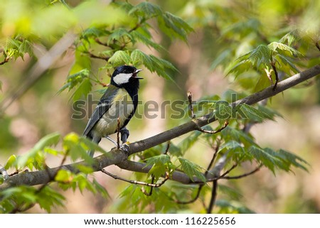 Whistling Tit in the tree