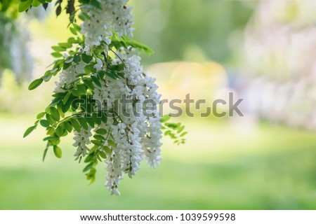 White acacia flowering, sunny day. Abundant flowering acacia branch of Robinia pseudoacacia, false acacia, black locust close-up. Source of nectar for tender but fragrant honey