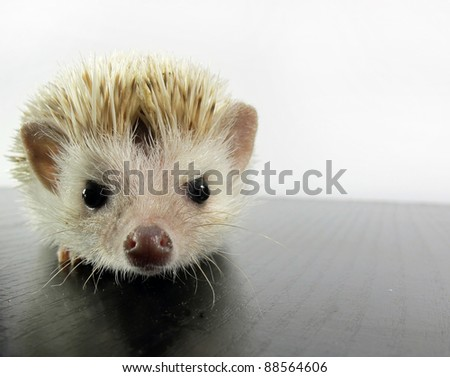 White African hedgehog - stock photo