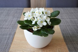 White African violet in flower pot