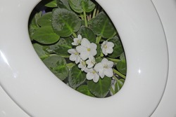 White African violets inside a toilet seat