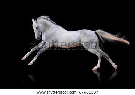 Конотърсач - Page 2 Stock-photo-white-akhal-teke-horse-isolated-on-black-67681387