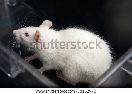 white (albino) laboratory rat in acrylic cage