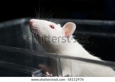 white (albino) laboratory rat in acrylic cage peeking and climbing out