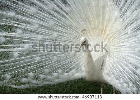 White albino peacock with an open tail