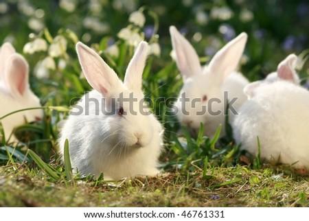 white albino rabbit on early spring meadow background, snow-white coney