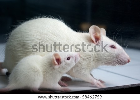 white (albino) rat with baby rat on open field board