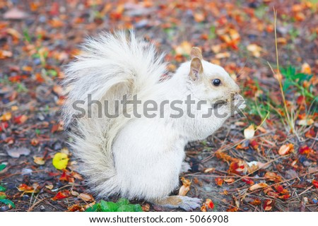 White albino squirrel eating in the parc