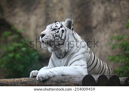 White albino tiger #214009459