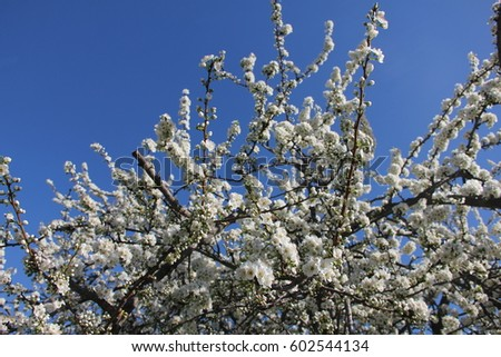 white almond tree blooming with blue sky background early spring