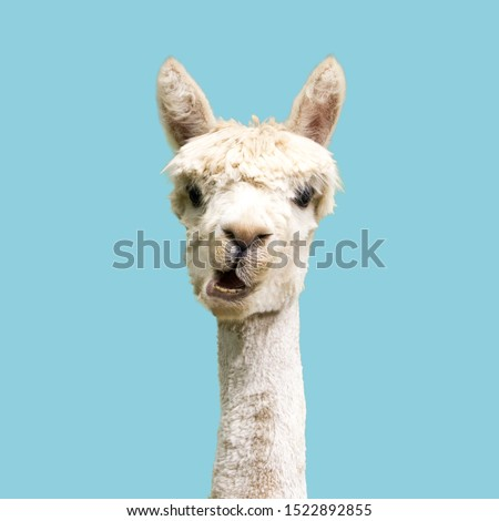 White alpaca on blue background